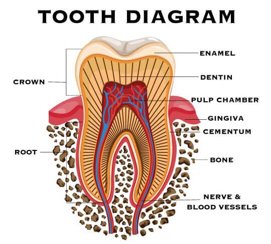 A tooth diagram showing the enamel, dentin, pulp, cementum, gum, and bone